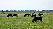 Grazing Bulls