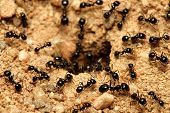 foto of ant  - A macro shot of black ants working together - JPG