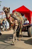Decorated Camel And His Owner Are Taking Part At Annual Pushkar fair,India