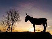 Silhouette of a donkey standing in field with sun setting in background