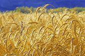 Golden Wheat Ears Before Harvest