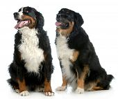 two big dogs - bernese mountain dog type dogs sitting looking up on white background