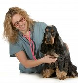 veterinary care - veterinarian listening to dog heart with stethoscope on white background - english cocker spaniel