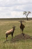 2 Topi´S In Masai Mara Kenya