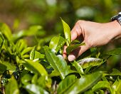 Picking Tea Leafs.