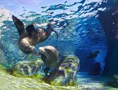 stock photo of mating animal  - Playful California sea lions  - JPG
