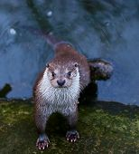 Wild otter in the river portrait view