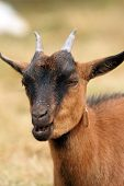 Brown Goat Chewing