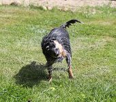 picture of blue heeler  - Dog shaking off water outdoors in summer - JPG