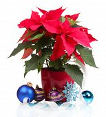 stock photo of poinsettia  - Beautiful poinsettia with christmas balls  isolated on white - JPG