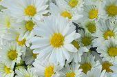 Gerbera Daisy White Yellow Flower