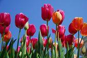 Pink Orange Tulip Flower