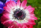 Pink White Anemone Flower