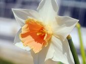 Daffodil Narcissus White Orange Flower
