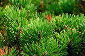 Pine Plant