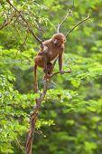 Baboon climbing