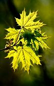 Maple Foliage