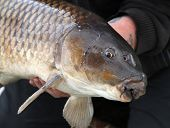 Head of Common Carp.