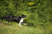 image of frisbee  - Border collie catching frisbee close up shoot - JPG