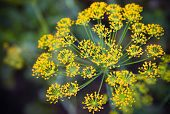 Close-up Photo With Shallow Depth Of Field Of Yellow Dill Flower Umbels