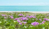 Ipomoea On A Beach