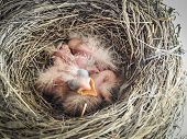 Robins Nest With 4 Babies