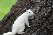 pic of albinos  - Rare white squirrel in a tree in the city park in Olney Illinois one of the few places were a large number of them exist - JPG