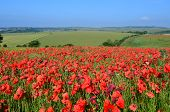Red poppy field in England