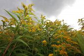 Yellow buddleja