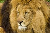 image of scar  - Close up head shot of a male lion a big cat the king of the jungle with scars from fights - JPG