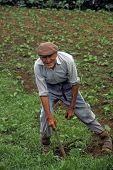 Azores Farmer