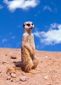 picture of meerkats  - Portrait of a meerkat standing against blue sky - JPG