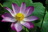 Tripped Pink Lotus in White Lake.