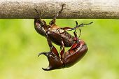 stock photo of oryctes  - Rhino Stag Beetle close up of insect in the nature - JPG