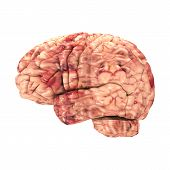 Anatomy Brain - Side View Isolated on White