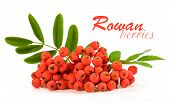 image of rowan berry  - rowan berries isolated on a white background - JPG