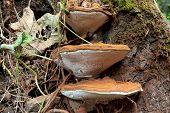 Ganoderma Applanatum fungi