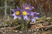 Pulsatilla patens (Eastern pasqueflower, prairie smoke, prairie crocus, and cutleaf anemone)
