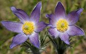 Pulsatilla patens (Eastern pasqueflower, prairie smoke, prairie crocus, and cutleaf anemone)