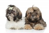 Shihtzu Puppies Lying On White Background