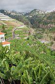 Banana plantations in camara de lobos Madeira island Portugal