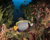 Emperor Angelfish on coral reef in ocean