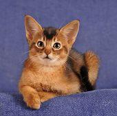 Abyssinian Kitten Lying On Sofa Portrait