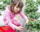 Pretty Young Girl Picking Fruit At Strawberry Farm