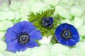 stock photo of windflowers  - Three blue windflowers in a bed of green isolation foam - JPG