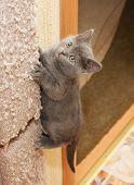 British Blue Kitten Climbs Up Scratching Post