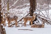 Winter Whitetail Deer