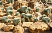 Group Of Golden Barrel Cactus