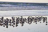 Flock Of Sandpiper Wades