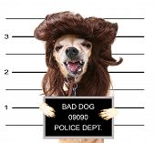 a mugshot of a cute chihuahua with a wig on